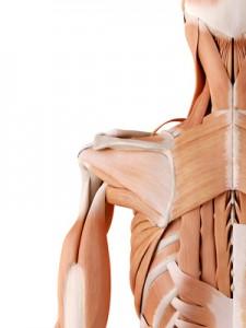 die Schulter ist ein komplexes Gelenk